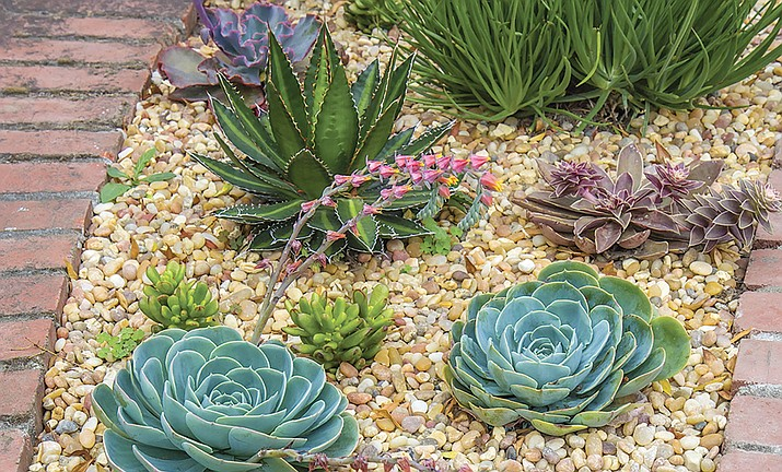 Succulents are drought-tolerant plants and attractive to include in landscape designs. (Courtesy)