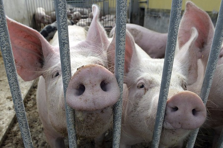 In this July 10, 2017 file picture two pigs sit in their enclosure on an ecological farm in Lanke, Germany. European statistical agency Eurostat said Thursday March 1, 2018 that with a population of some 150 million in the European Union, pigs far outnumber cattle and other bovines, the second largest livestock category with 89 million head. (Maurizio Gambarini/dpa via AP, file)