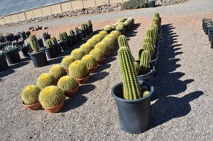 The Arizona Botanical Gardens in Clarkdale has hundreds of cactuses for any cactus enthusiast to explore. The Arizona Botanical Gardens has been selling cactus for more than 20 years said Jason Lavelle, owner and Arizona Certified Nursery Professional. (VVN/Vyto Starinskas)