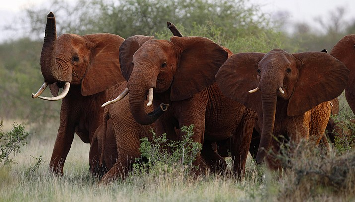 "In this March 9, 2010, photo, elephants are pictured in the Tsavo East national park, Kenya. The Trump administration has recently allowed Americans to import the body parts of African elephants shot for sport, despite the president's tweets decrying the practice as a ""horror show."" (AP Photo/Karel Prinsloo, File)"