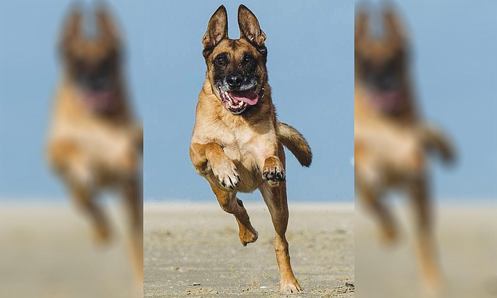 The Williams Police Department hopes to acquire a Belgian Malinois as a police K9. (Stock photo)