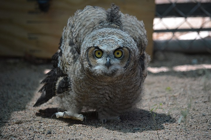 This Great Horned Owl Fledgling has adult plumage. The young bird is behaving aggressively by walking toward the camera. Wings are sometimes outstretched and the bird may click its beak in warning. Fledglings should be left alone – the parents will bring them food.