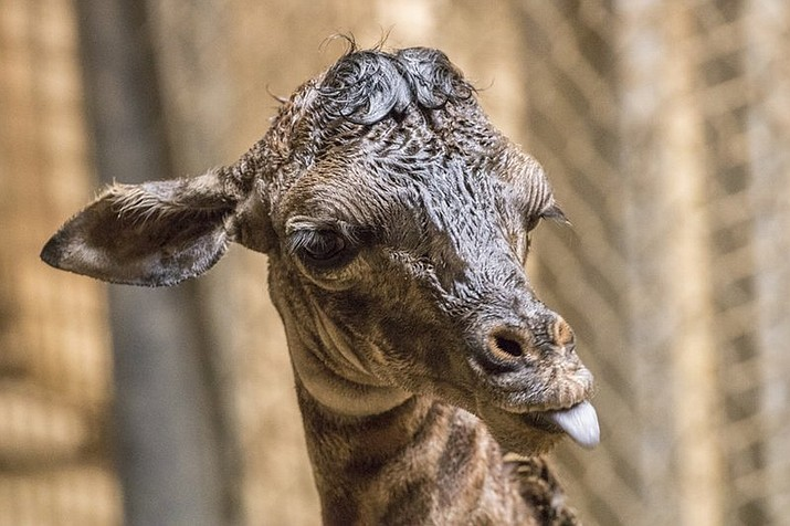 In this Thursday, March 15, 2018 photo provided by the Santa Barbara Zoo, a baby giraffe sticks her tongue out in her enclosure at the Santa Barbara Zoo in Santa Barbara, Calif. The zoo's Masai giraffe, Audrey, gave birth earlier in the week and the newborn is 6-feet-1 (1.8 meters), weighing in at 180 pounds (81.6 kilograms). Curator of Mammals Michele Green says it was a fast and smooth birth, and the female calf stood up and was nursing in only two hours. (Santa Barbara Zoo via AP)