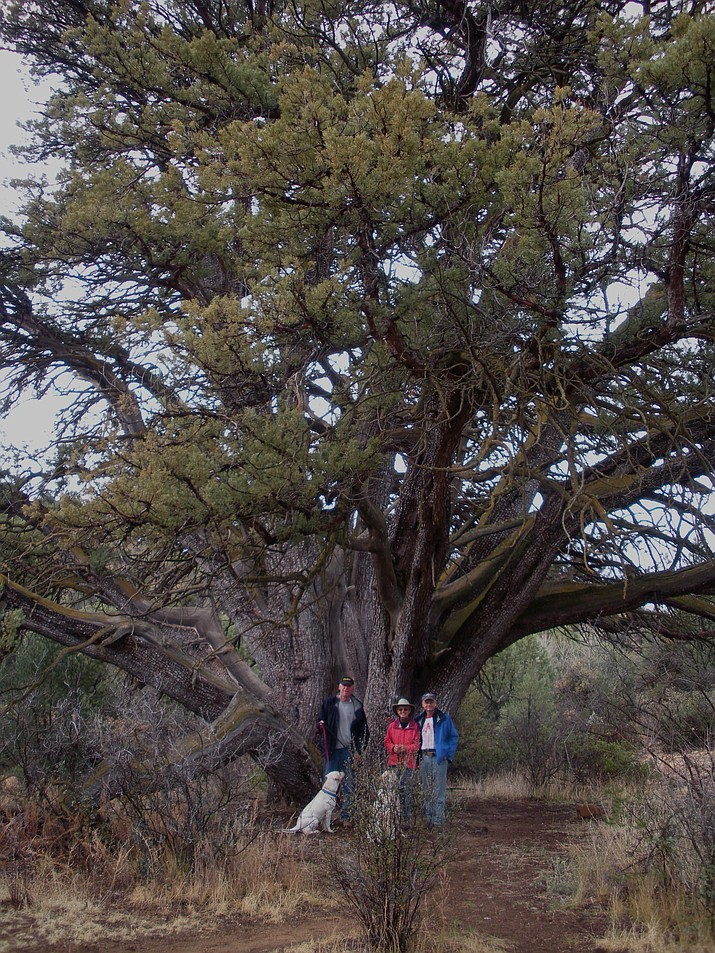 The giant juniper on Granite Mountain still stands thanks to the efforts of the Granite Mountain Hot Shots in June, 2013. (Nigel Reynolds/Courtesy)