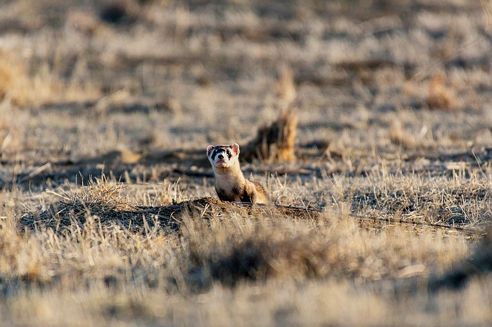 Volunteers can assist Arizona Game and Fish with documentation of endangered Black Footed Ferrets during two spotlight projects this year. The projects take place on the Double O Ranch near Seligman, Arizona. (Stock photo)