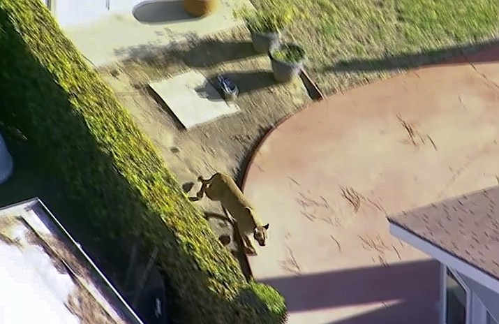 This Monday, March 26, 2018 aerial image made from video provided by KABC-7 shows a mountain lion darting from one residential house into another in in the eastern Los Angeles County community of Azusa, Calif. near the San Gabriel Mountains wilderness.on Monday, March 26, 2018. The mountain lion roamed through backyards in a neighborhood outside Los Angeles before wildlife officers tranquilized it. (KABC-7 via AP)
