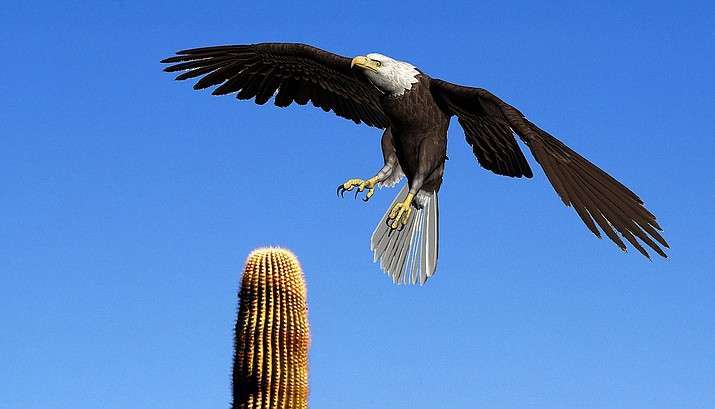 In this file photo a bald eagle lands atop a saguaro cactus in a desert region of Arizona. Bald and golden eagles are protected by the Bald and Golden Eagle Protection Act and the Migratory Bird Treaty Act. Eagle parts and feathers are used in cultural and religious ceremonies in many Native American cultures.