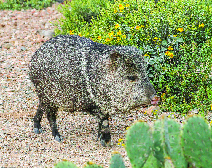 Javelinas can be found in small herds throughout Arizona. (Stock photo)