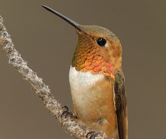 A male rufous hummingbird.  (Alan Melle/Courtesy)
