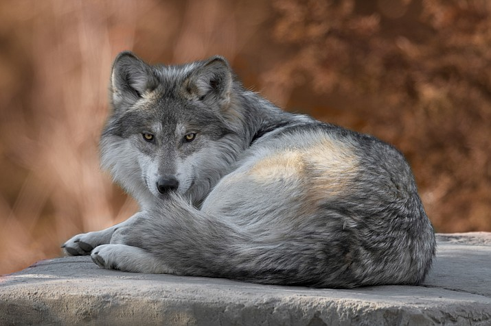 Mexican gray wolf (File photo)