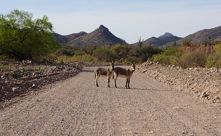 Wild burros are a common sight along the primitive dirt road into Castle Hot Springs. Signs alert drivers about the possibility of burros on Castle Hot Springs Road, near Lake Pleasant. (Cindy Barks/Courier)