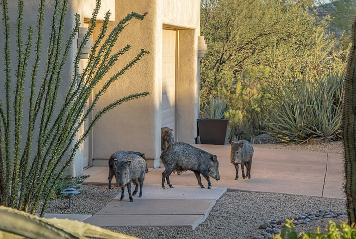 Two residents of Sedona and the Village of Oak Creek who had been feeding javelina at their homes were attacked in February. As a result, not only is one individual undergoing a series of rabies shots, the Game and Fish Department killed 20 javelinas found near the locations. Adobe Stock Image