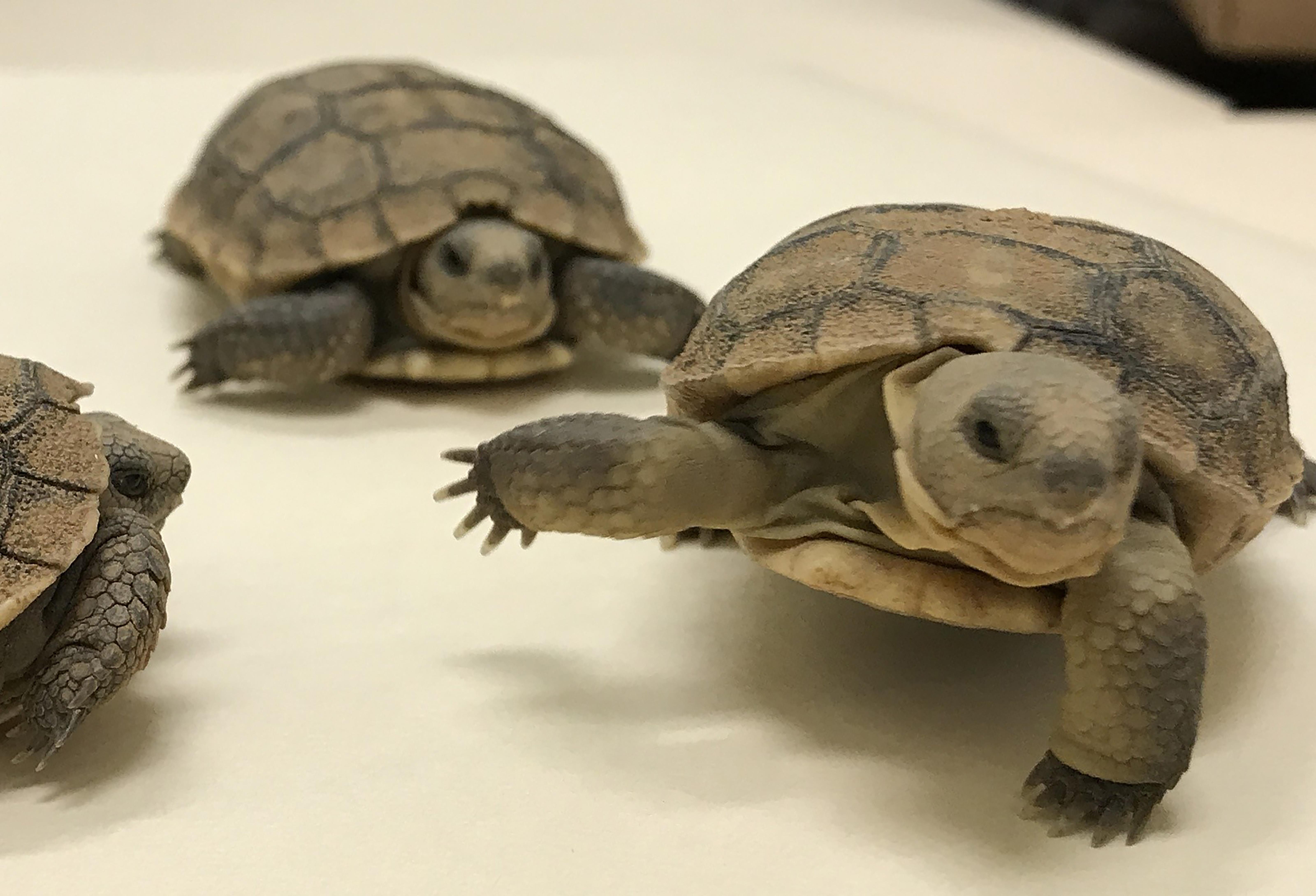 adopt a tortoise