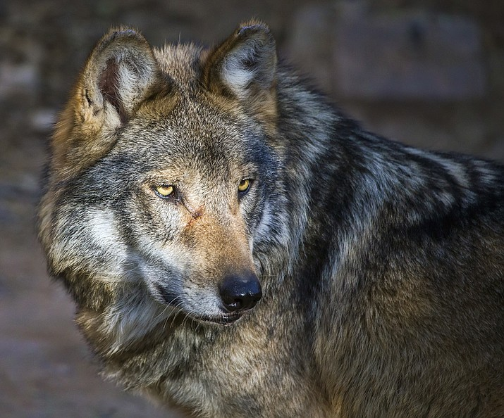 Two endangered Mexican gray wolves were found dead in New Mexico in March. The deaths come after two of the wolves were discovered dead in Arizona in February. (Stock photo)
