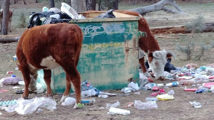 Birds and animals, including some cattle, pulled bags out of a dumpster and opened them up, scattering trash and litter around the campgrounds at Point of Pines Lake.