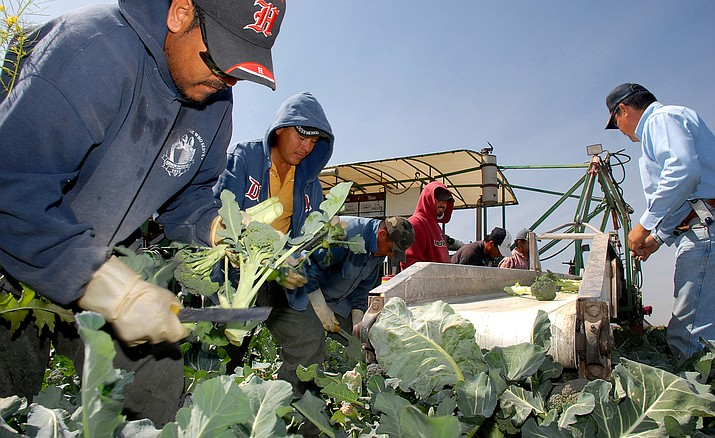 In this file photo from March 8, 2008, laborers in Yuma — America's winter lettuce capital — are pictured harvesting produce. (Jacob Lopez/AP)