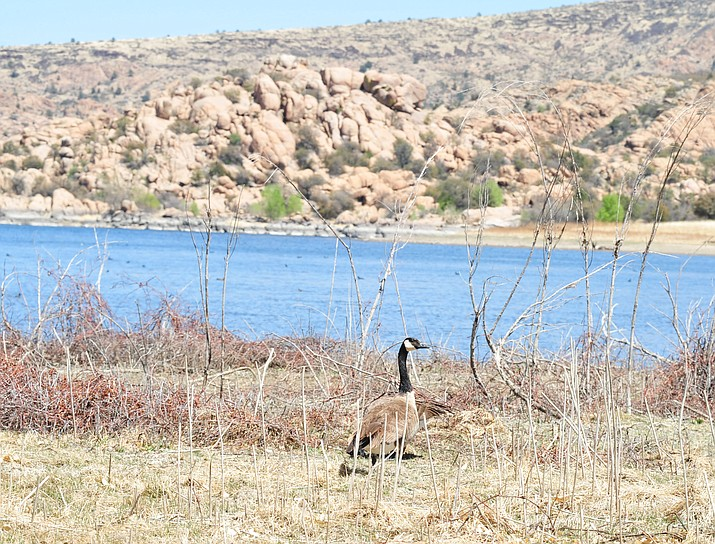 Prescott's Watson Lake — pictured Tuesday, April 17, 2018 with Canadian geese — has a low water level due to a lack of snowpack over the past winter. (Les Stukenberg/Courier)