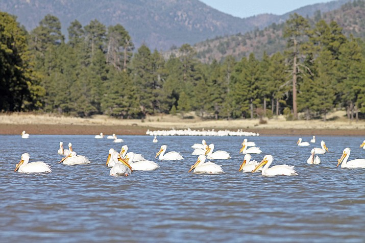 Visitors to Kaibab Lake were treated to a sea of white pelicans April 13. Arizona Game and Fish officials said the sighting was rare but the birds stayed in the area for several days and were most likely migrating through the area. (Loretta Yerian/WGCN)
