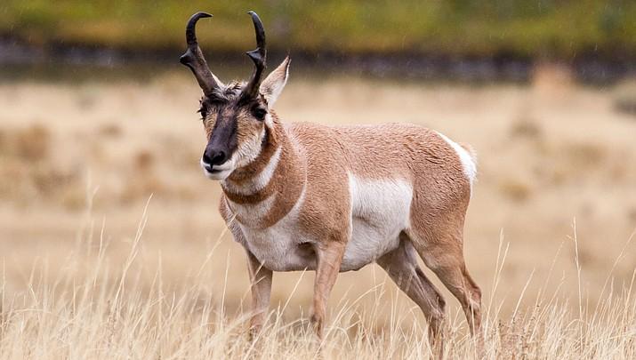 G&F conducting antelope protection program