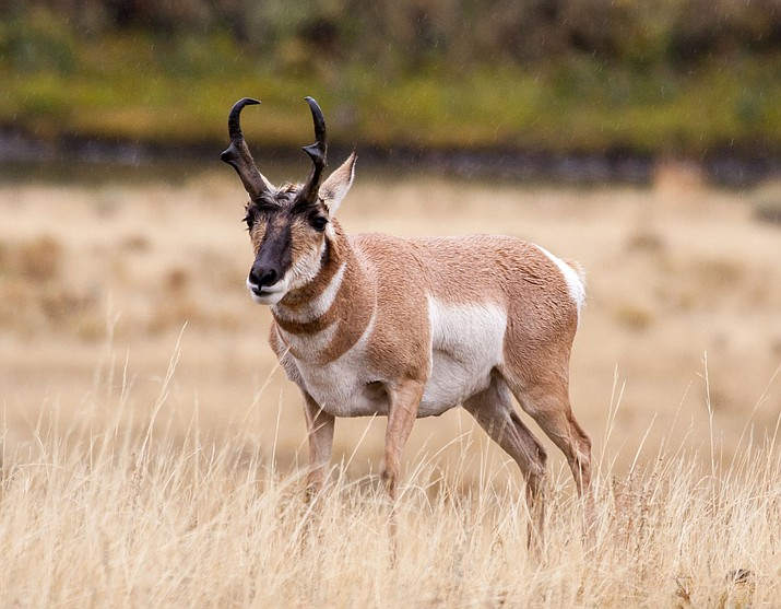 Arizona Game and Fish is implementing an antelope protection program.