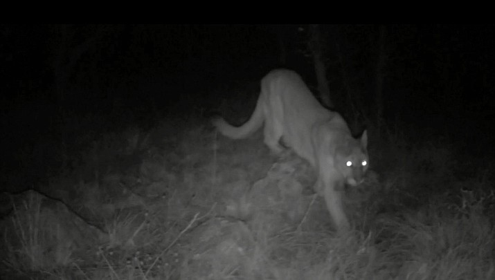 Officers investigate after shots fired at mountain lion (with trail cam video)