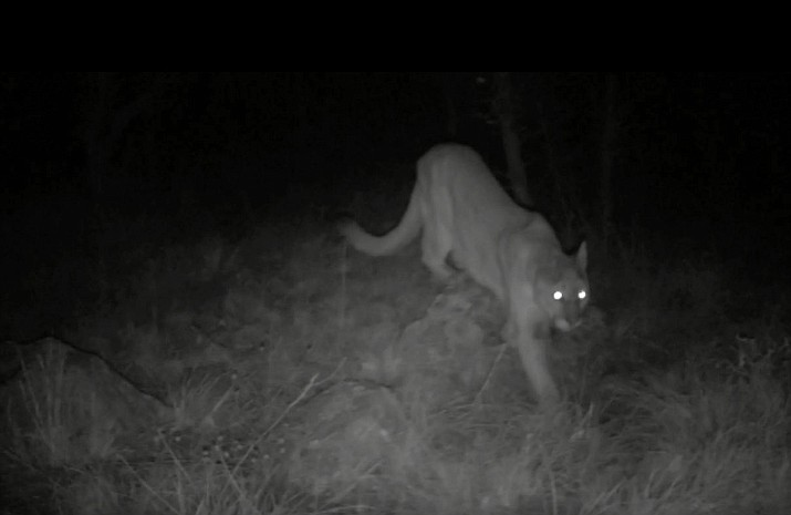A mountain lion is captured on a trail cam near Second Street in Williams sometime between April 10-12. The camera is set up around 60 to 70 feet in the woods. Arizona Game and Fish is monitoring the area and any reported activity of the mountain lion. (Photo courtesy of trail cam footage provided by Brian Markham)