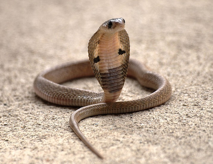 A juvenile Indian cobra in Marathahalli, Karnataka, India. (Gopal Venkatesan)