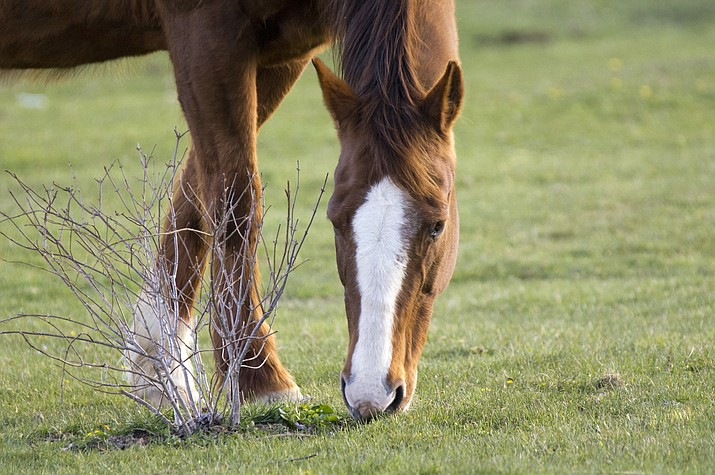 Some of the most toxic plants for horses include Oleander, Hemlock, Bracken fern, Johnsongrass and Locoweed. (MetroGraphics)