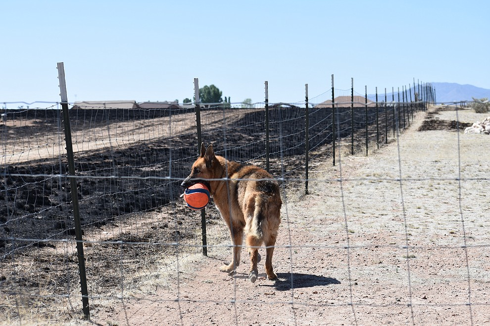 A family dog watches as residents in the area woke up May 12, 2018, to survey damage to homes and property caused by the Viewpoint Fire in the Poquito Valley area of Prescott Valley, Arizona. (Richard Haddad/WNI)