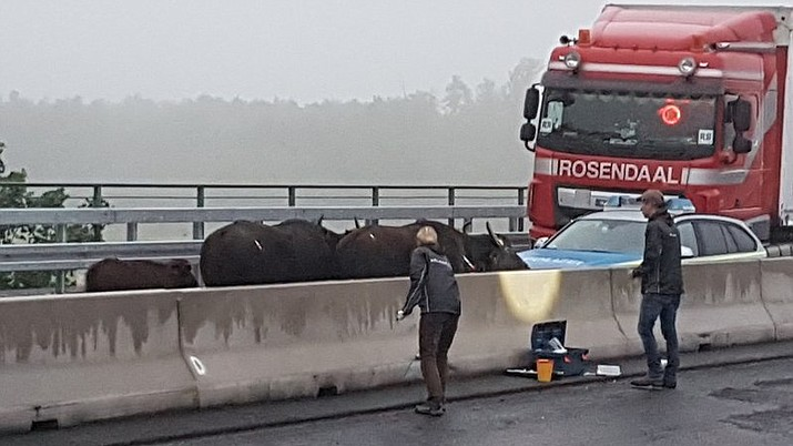 Water buffalos stand on a highway near Leverkusen, western Germany, Monday, May 14, 2018. The buffaloes, including two calves, escaped from a field Sunday night and walked onto the A3 highway near Leverkusen. The highway was closed temporarily. (Oliver Koehler/WDR//dpa via AP)