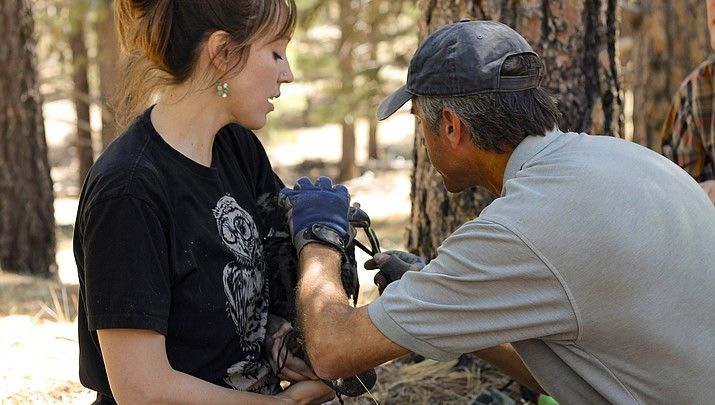 AZGFD bands bald eagle chicks in continued effort to conserve species