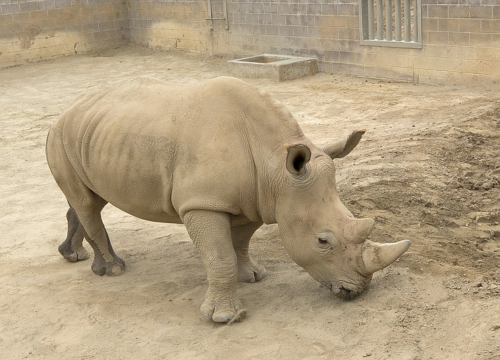 This May 15, 2018 photo provided by the San Diego Zoo Global shows a southern white rhino female, Victoriaa at the San Diego Zoo Safari Park in Escondido, Calif. The rhino has become pregnant through artificial insemination at the zoo giving hope for efforts to save a subspecies of one of the world's most recognizable animals, researchers announce. (Tammy Spratt/San Diego Zoo Global via AP)