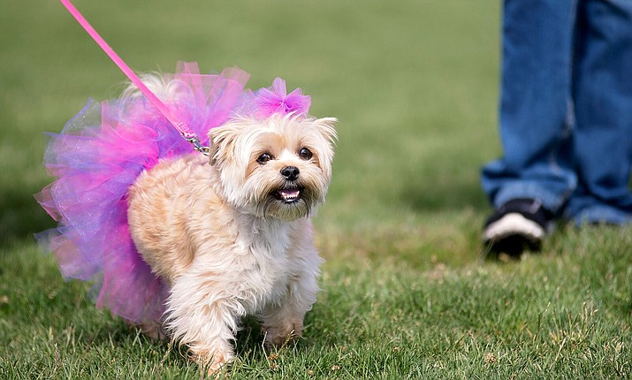 A tutu-wearing pup is pictured at a previous Walk for the Animals event, participating in the Best Dressed contest. (Terri Davis/Courtesy)
