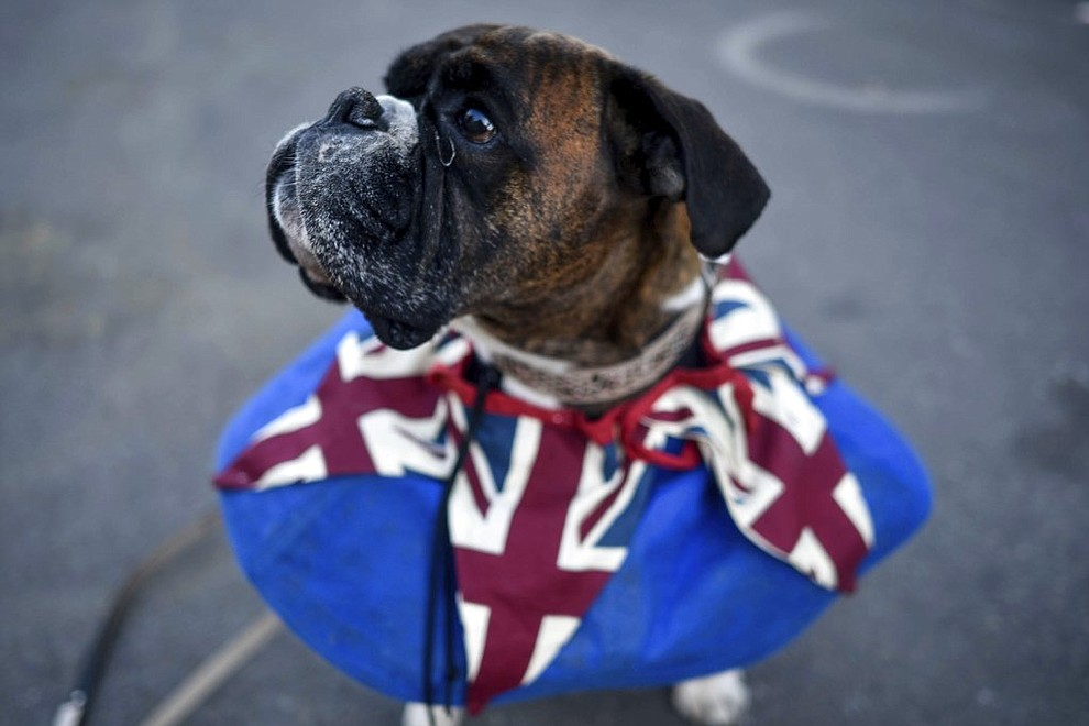 A dog wears a Union flag collar in Windsor ahead of the wedding of Prince Harry and Meghan Markle at Windsor Castle near London Saturday, May 19, 2018. (Peter Summers/PA via AP)