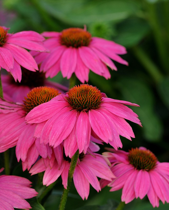 Echinacea PowWow Wild Berry is a perennial that provides continual bloom without deadheading or grooming. (All-America Selections/Courtesy)