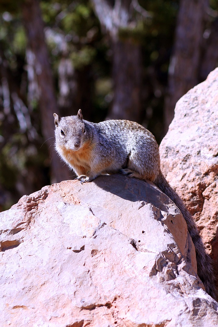 Rock squirrels are frequently found searching for food in areas full of visitors. Although they seem docile, they can give a nasty bite (Erin Ford/WGCN)