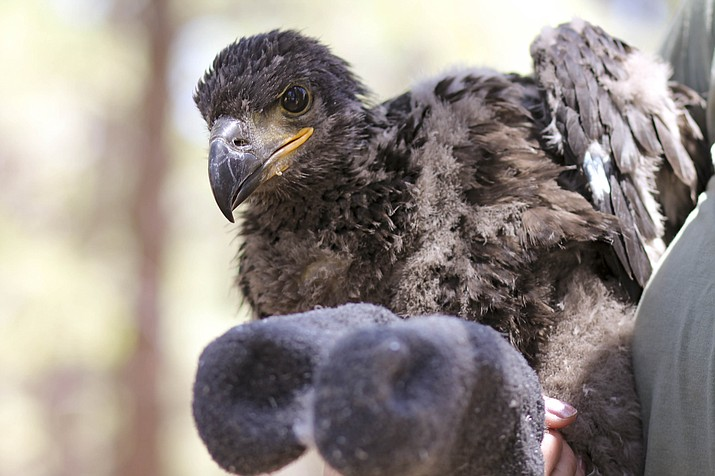 Arizona Game and Fish Department banded, measured and weighed two bald eagle chicks May 10 near Lake Mary in Flagstaff. (Loretta Yerian/WGCN)