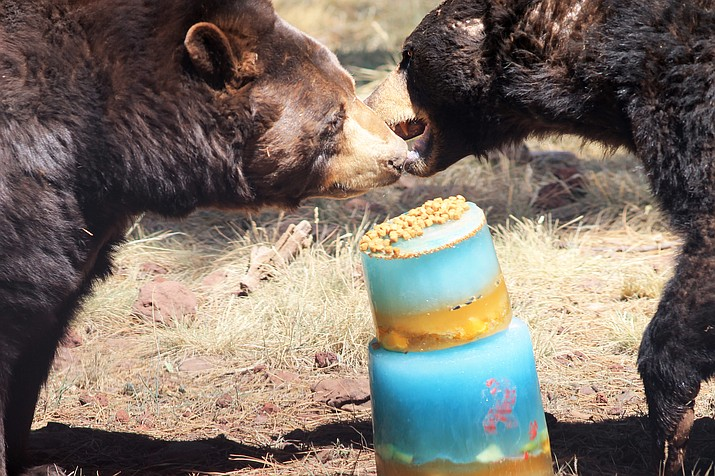 Bears enjoyed frozen birthday cakes with apples and orange slices. (Wendy Howell/WGCN)