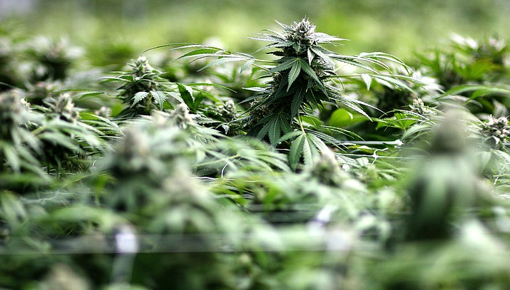 Future marijuana grow house operations in Camp Verde will be limited to facilities in industrial zones, effective June 23. VVN/Bill Helm