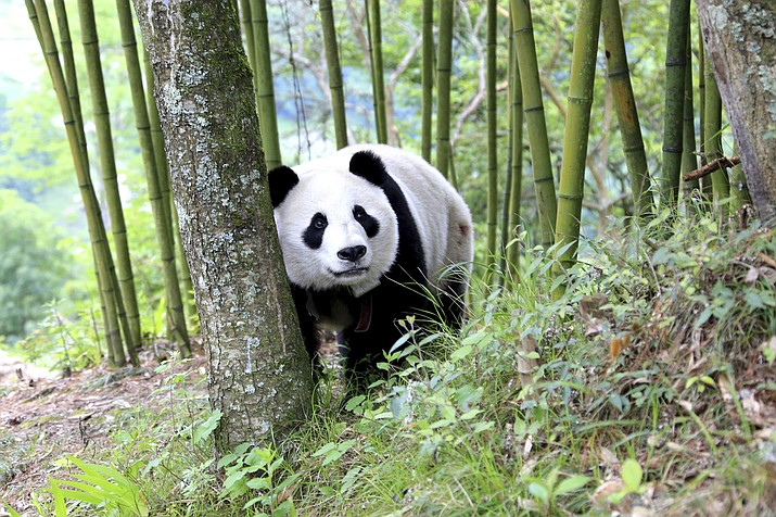 In this Thursday, May 31, 2018, photo, a giant panda wanders through a village in Wenchuan County in southwestern China's Sichuan province. A highly social giant panda out for a stroll has surprised and delighted residents of a town in the southwestern Chinese province of Sichuan. (Chinatopix via AP)