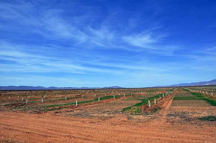Newly planted almond trees are growing on about 300 acres in Golden Valley, one of several farming operations that have sprung up in Mohave County over the last few years. (Photo by Butch Meriwether)