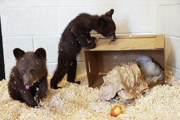 wo four-month old bear cubs were recently discovered hiding at the top of a 75-foot tree in a Pinetop-Lakeside, Arizona neighborhood after their mother was taken by Arizona Game and Fish. The bear cubs were relocated to Bearizona. (Bearizona Wildlife Park)