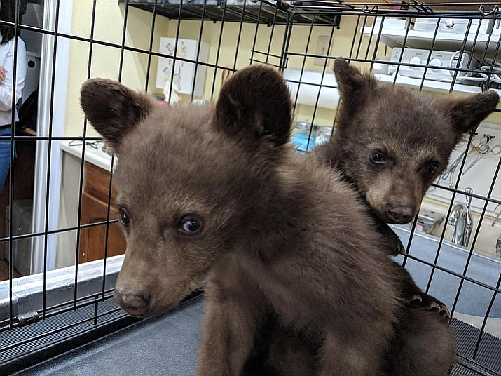 Two orphaned bear cubs have been placed in the care of Bearizona wildlife rescue park in Williams after their mother was euthanized. The park said the 4-month-old black bears were rescued from a treetop in Arizona's White Mountains and were so small a climber was able to lower them to safety in a backpack. The park says the Arizona Game and Fish Department was forced to euthanize the cubs' mother after twice removing her from a residential area in the town of Pinetop-Lakeside. (Bearizona/Courtesy)