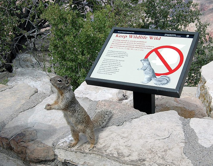 The act of giving a squirrel a drink of water from a plastic bottle at the Grand Canyon may be fun to watch on a recent viral video, but park officials warn that what the visitor did can actually create a troublesome life for wildlife and humans. (NPS photo)