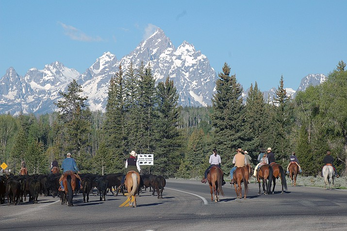The annual Pinto Ranch cattle drive through Grand Teton National Park delights visitors with its nostalgic 'old West' image. (Jackie Skaggs/NPS)