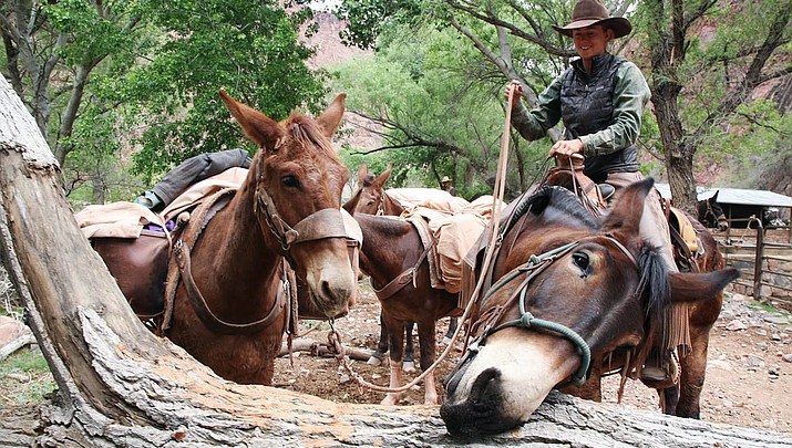 Stubbornly steadfast: Mules have kept the Grand Canyon moving since the 1880s