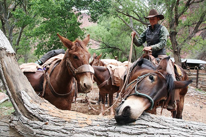 Xanterra, which also operates lodges on the South Rim, has about 150 mules that transport produce, people and basically everything else Phantom Ranch — along the Colorado River miles below the rim — needs to function. (Photo/Stina Sieg/KJZZ)