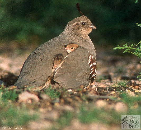 A female Gambel's quail with chicks is a common sight in this area this time of year. (Alan Melle/Courtesy)
