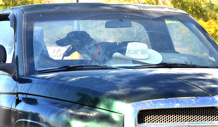 The Cottonwood Police Department responded to three calls this week concerning dogs left in locked cars in 100-degree summer heat. VVN/Vyto Starinskas
