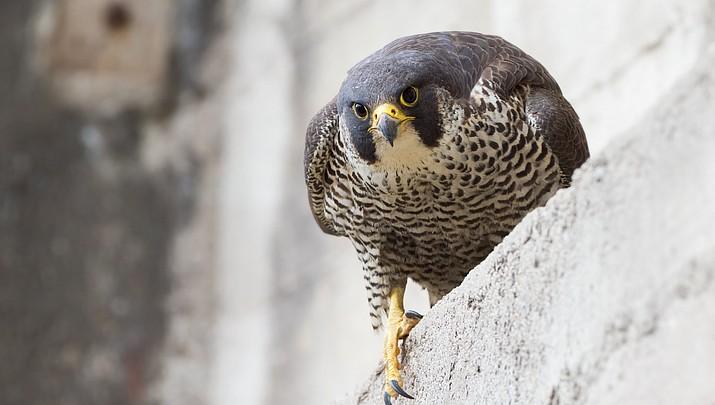 Peregrine falcons soaring again at Lake Mead